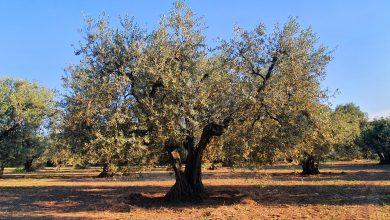Photo of Turismo dell'olio, intesa tra GAL Daunia Rurale 2020 e Consorzio Olio EVO